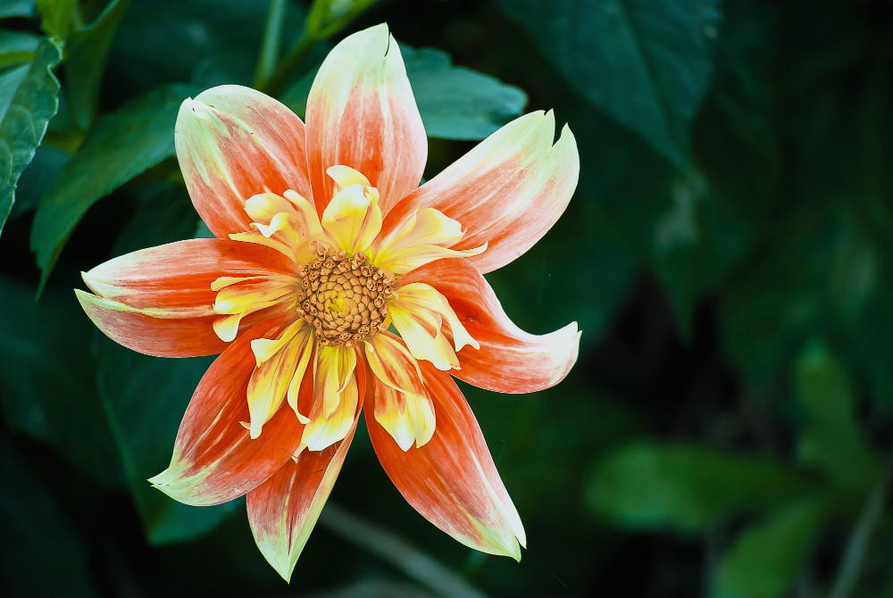 2 Quote A Flower Daily - Fire Dahlia 03