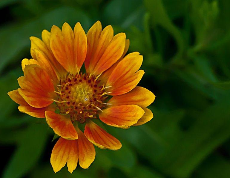 2 Quote A Flower Daily - Mesa Peach