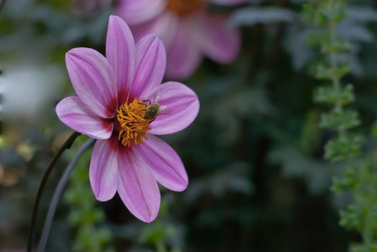 2 Quote A Flower Daily - Mystic Dreamer Bee