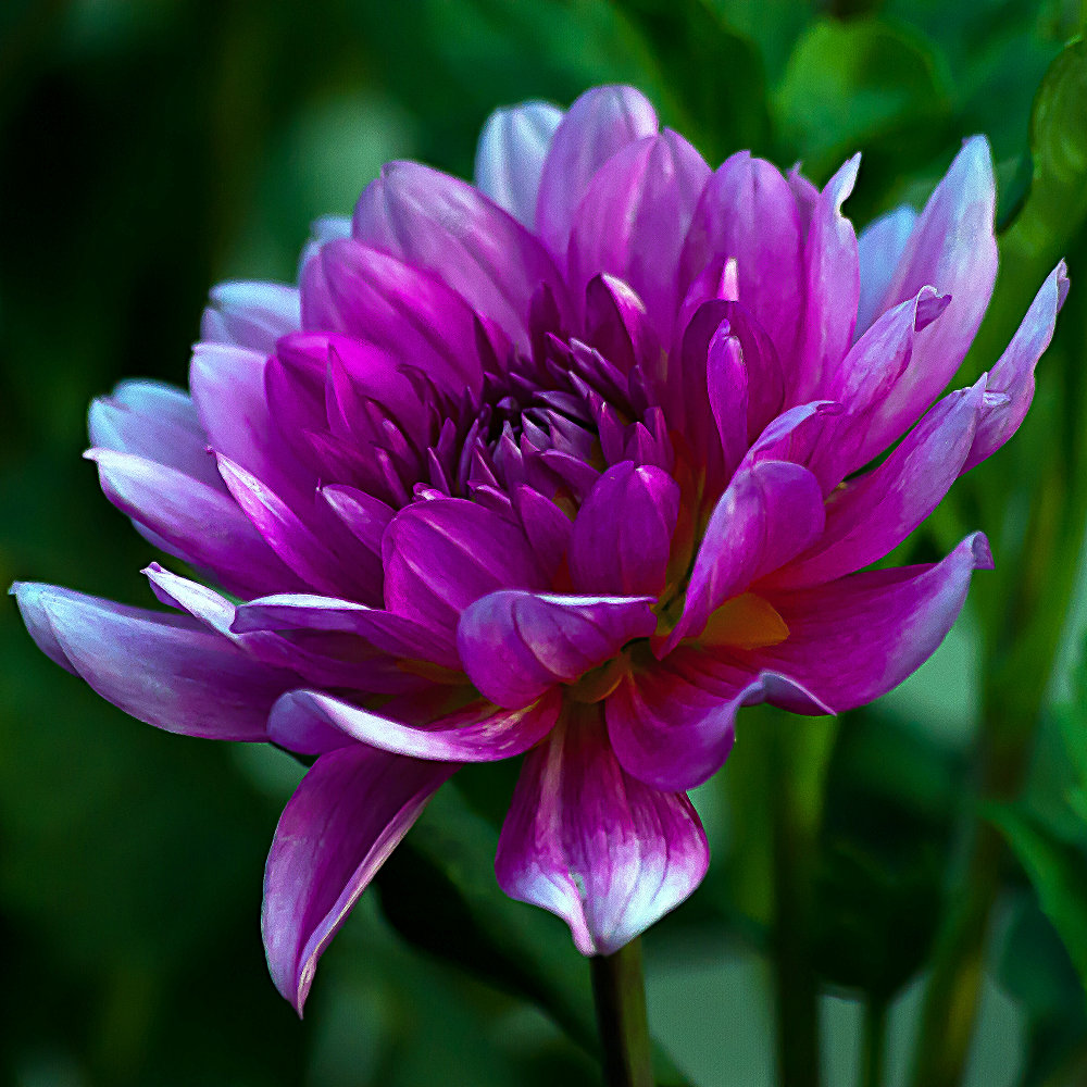 2 Quote A Flower Daily - Pink Dahlia