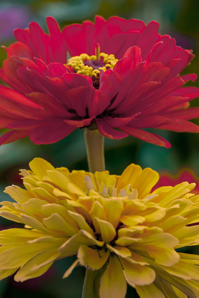 2 Quote A Flower Daily - Red and Yellow Zinnia