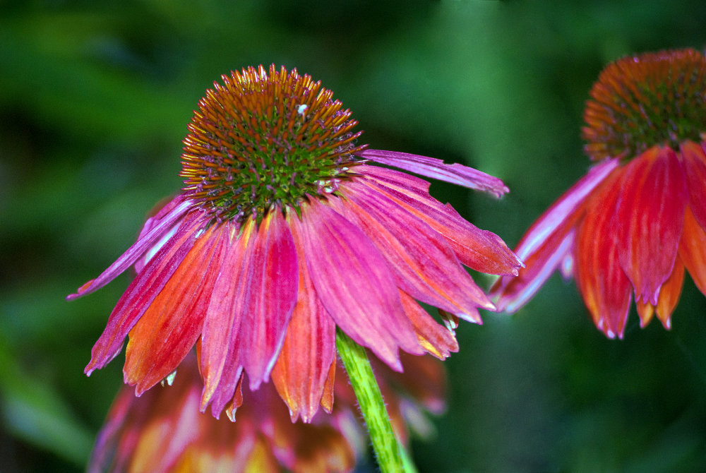 2 Quote A Flower Daily - Red Echinacea 01