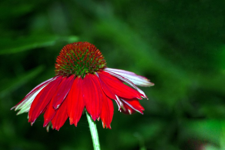 2 Quote A Flower Daily - Red Echinacia-2