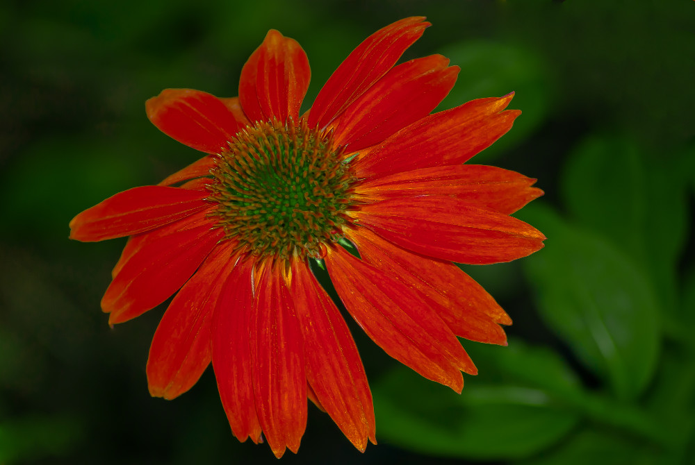 2 Quote A Flower Daily - Red Echinacia