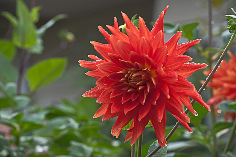 2 Quote A Flower Daily - Red Spike Dahlia