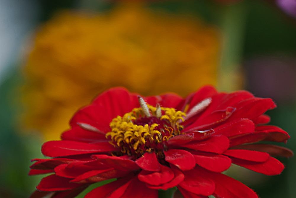 2 Quote A Flower Daily - Red Zinnia 02