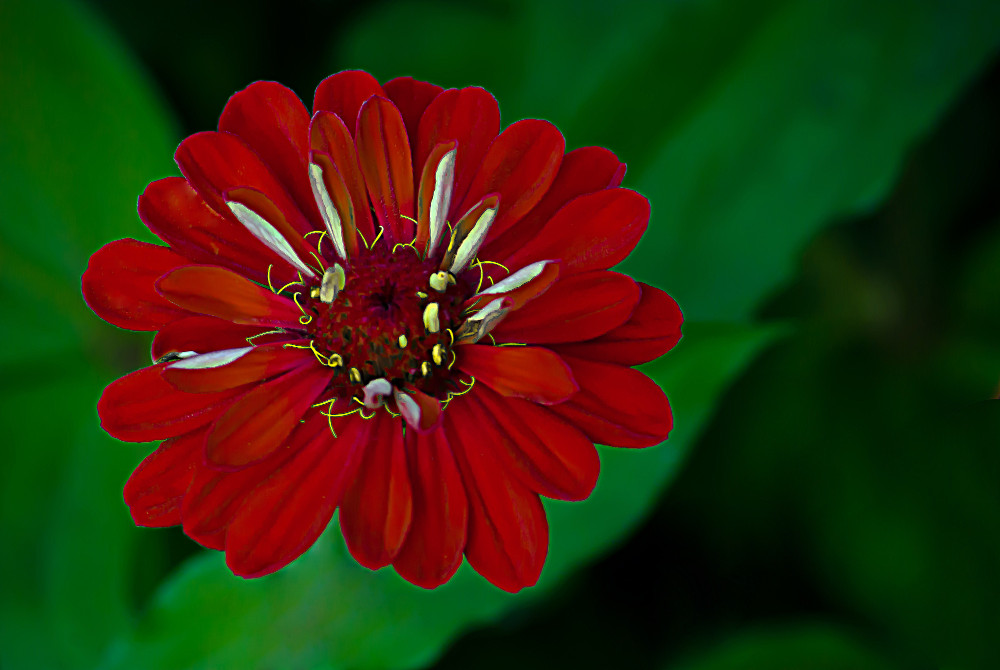 2 Quote A Flower Daily - Red Zinnia01