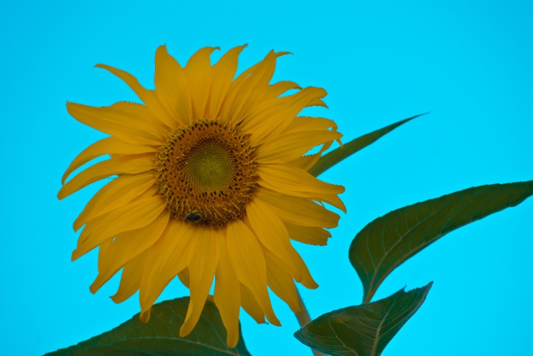 2 Quote A Flower Daily - Sunflower Blue