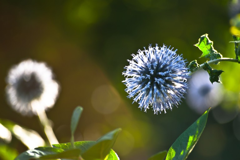 2 Quote A Flower Daily - Thistle