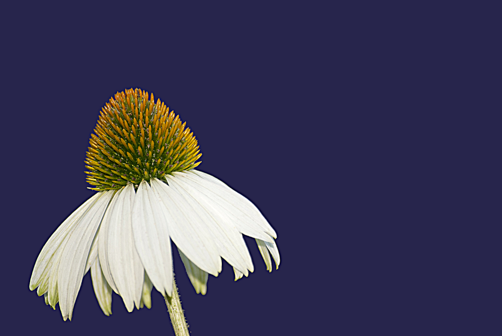 2 Quote A Flower Daily - White Echinacea 01