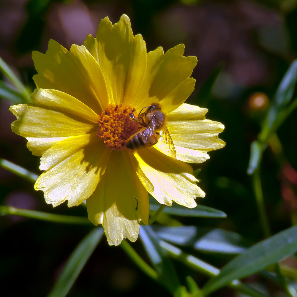 2 Quote A Flower Daily - Yellow Bee