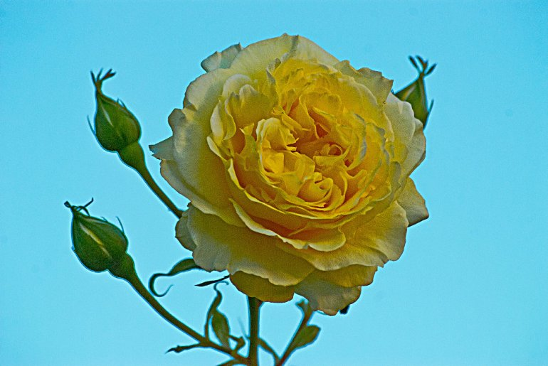 2 Quote A Flower Daily - Yellow Rose-02