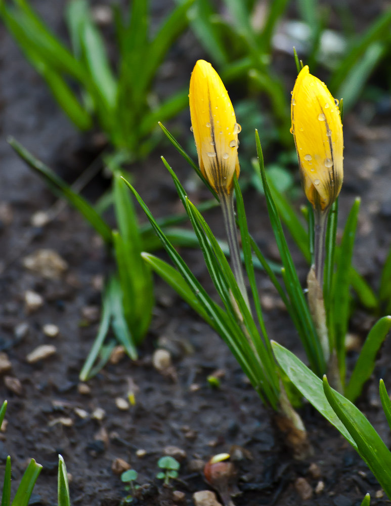 2 Quote A Flower Daily - 2 Yellow Crocus
