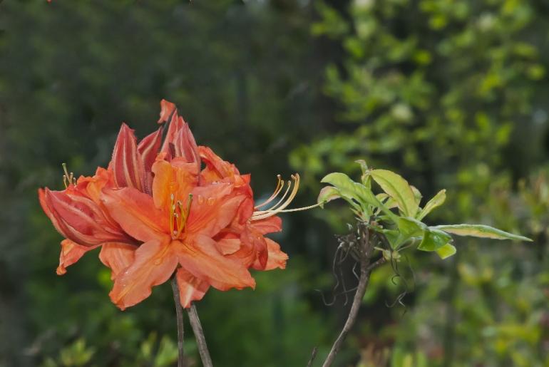 2 Quote A Flower Daily - Azalea-2