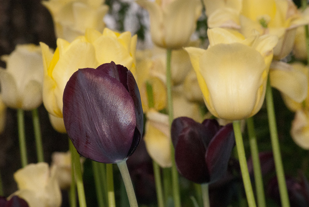 2 Quote A Flower Daily - Purple and Yellow Tulips