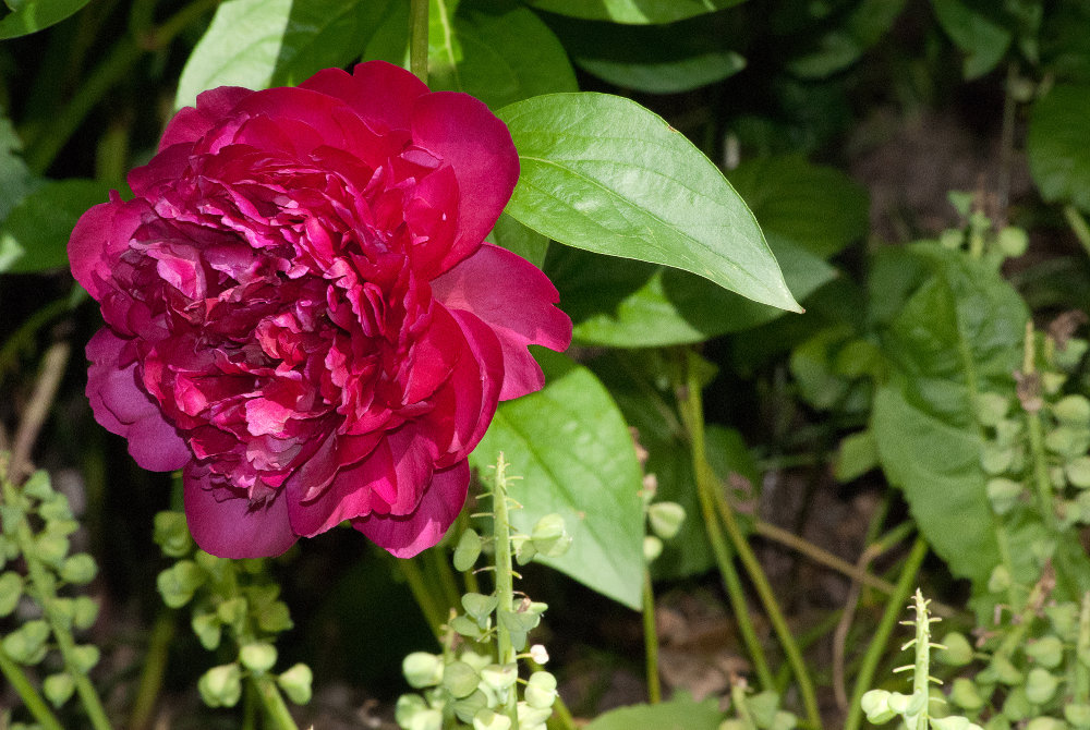 2 Quote A Flower Daily - Red Peony