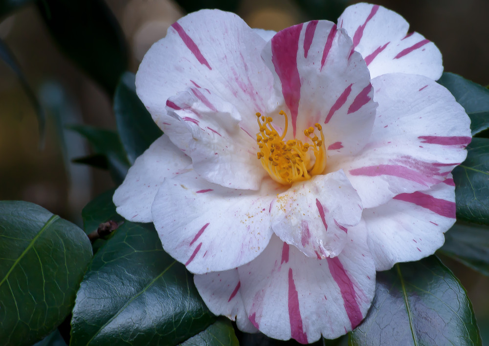 2 Quote A Flower Daily - Red White Camellia
