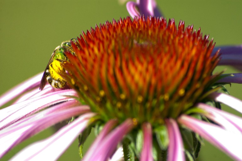 2 Quote A Flower Daily - Bee Echinacea