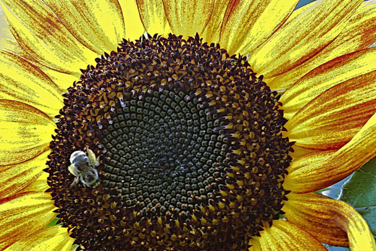 2 Quote A Flower Daily - Bee Sunflower
