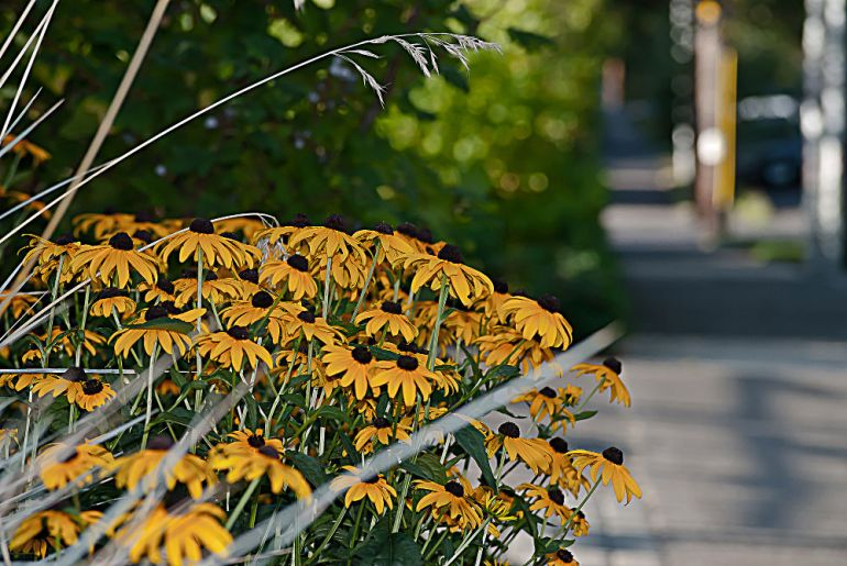2 Quote A Flower Daily - Brown Eyed Susans