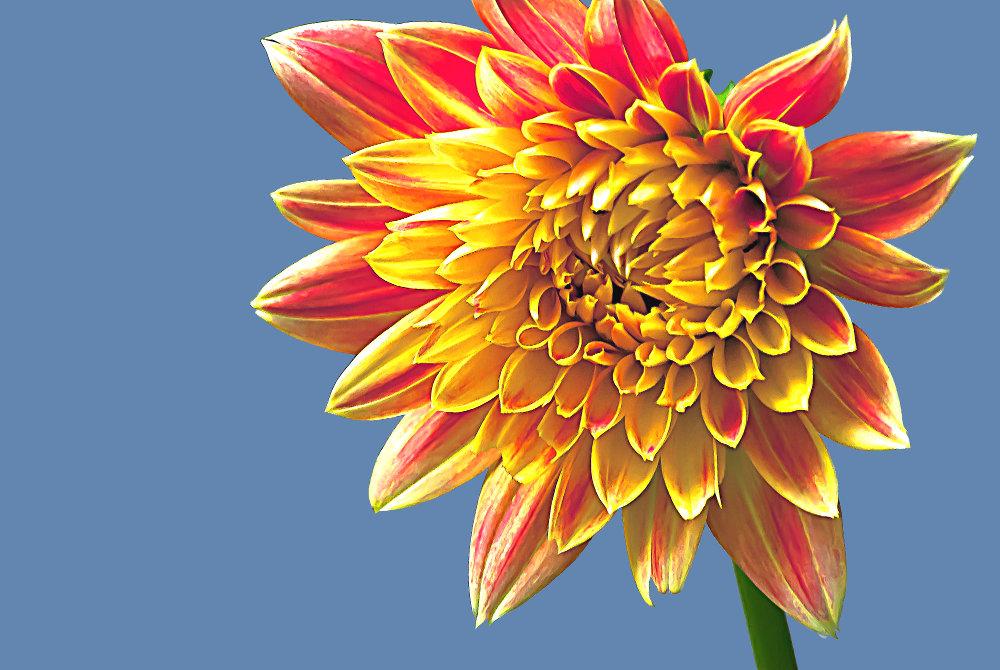 2 Quote A Flower Daily - Dahlia Closeup