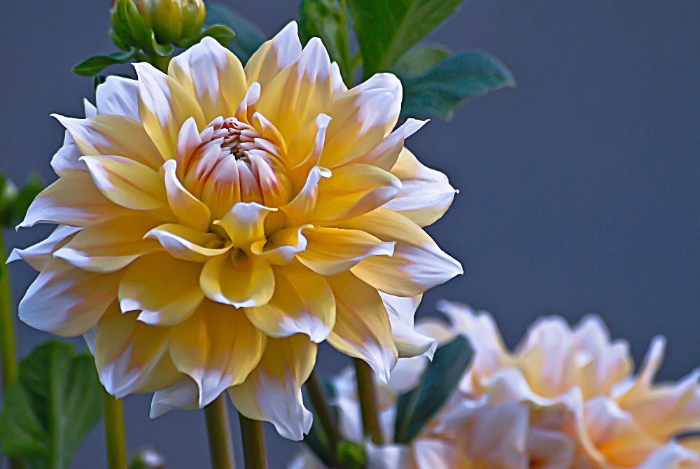 2 Quote A Flower Daily - Dahlia Highlights