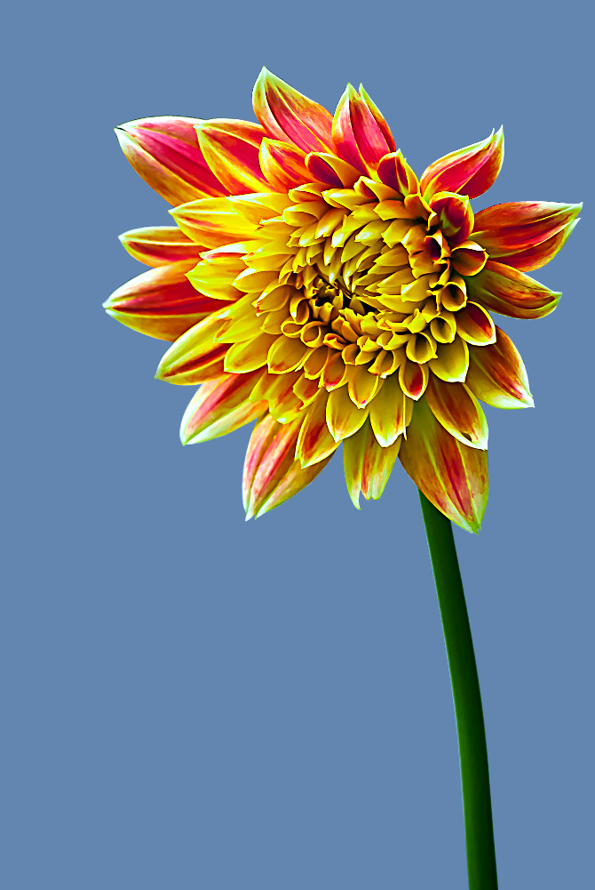2 Quote A Flower Daily - Dahlia, Orange and Yellow