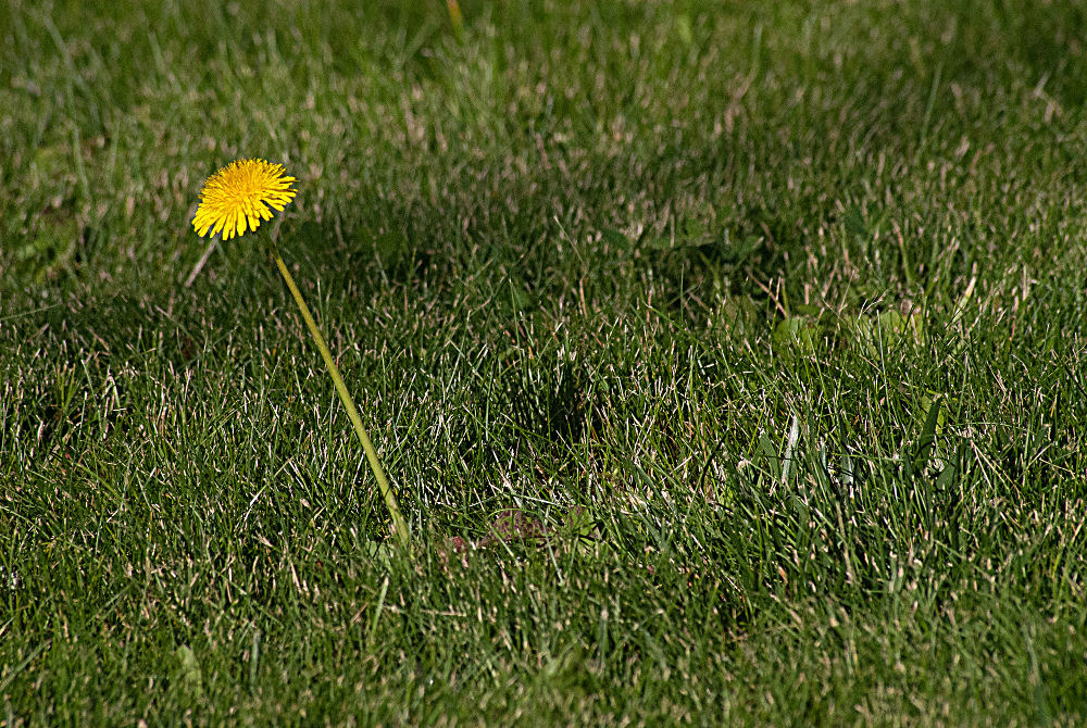 2 Quote A Flower Daily - Dandelion