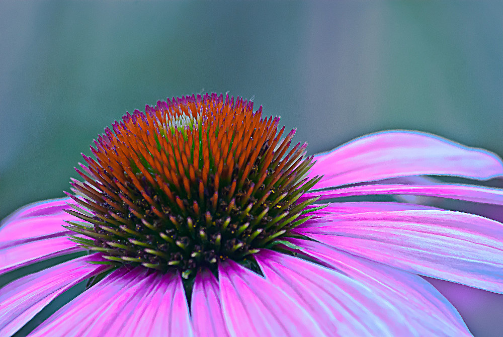 2 Quote A Flower Daily - Echinacea Closeup