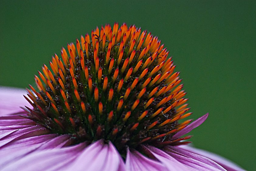 2 Quote A Flower Daily - Echinacea Pod
