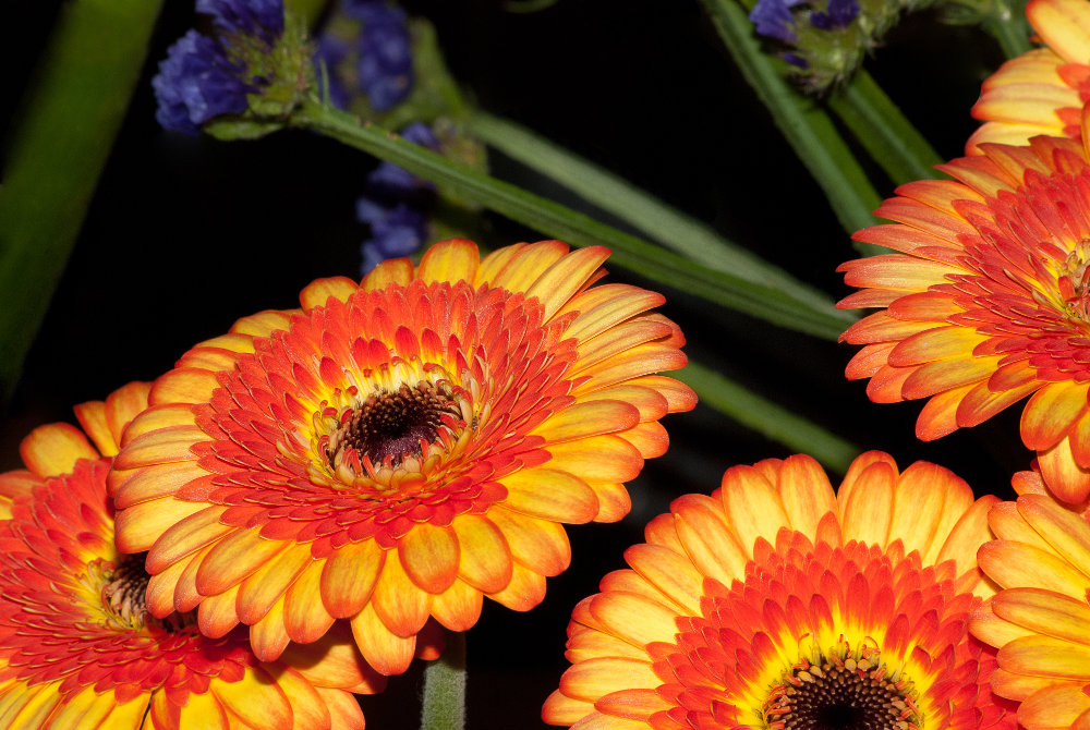 2 Quote A Flower Daily - Gerberra Daisy