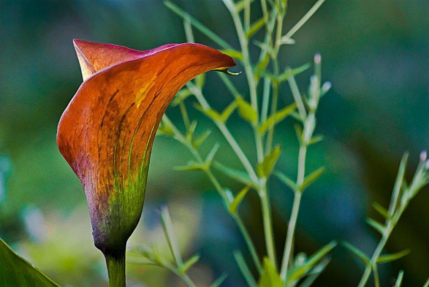 2 Quote A Flower Daily - Orange Calla Lily
