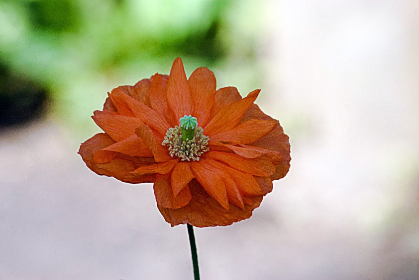 2 Quote A Flower Daily - Orange Poppy