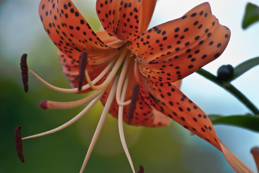 2 Quote A Flower Daily - Orange Tiger Lily