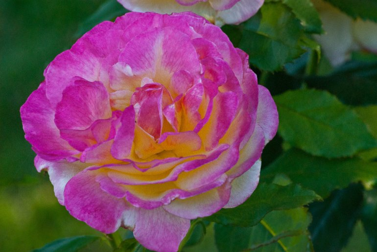 2 Quote A Flower Daily - Pink and White Rose