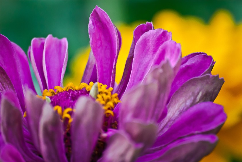 2 Quote A Flower Daily - Pink and Yellow Zinnia