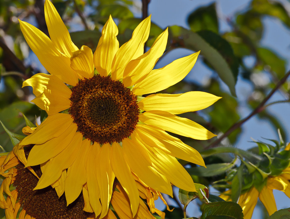 2 Quote A Flower Daily - Sunflower 03