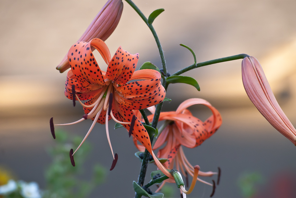 2 Quote A Flower Daily - Tiger Lilies