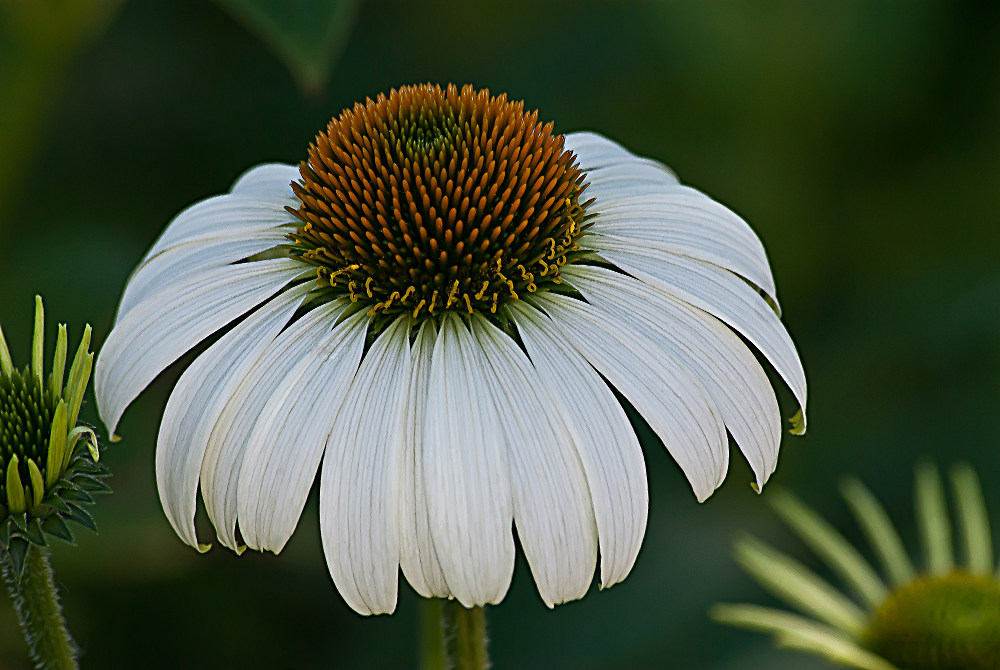 2 Quote A Flower Daily - White Echinacea 04