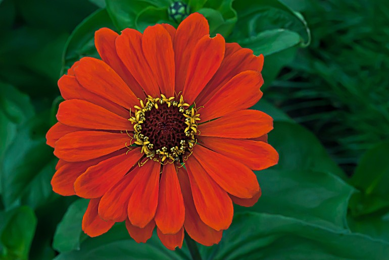 2 Quote A Flower Daily - Zinnia Above