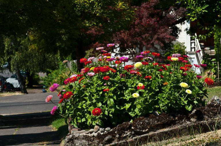 2 Quote A Flower Daily - Zinnia Bed