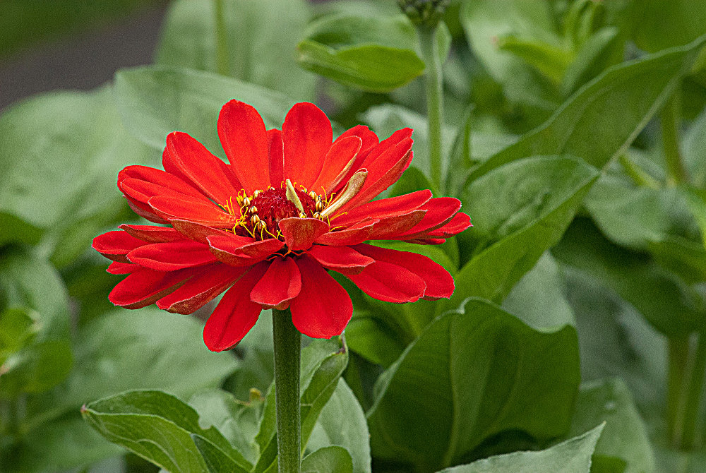 2 Quote A Flower Daily - Zinnia