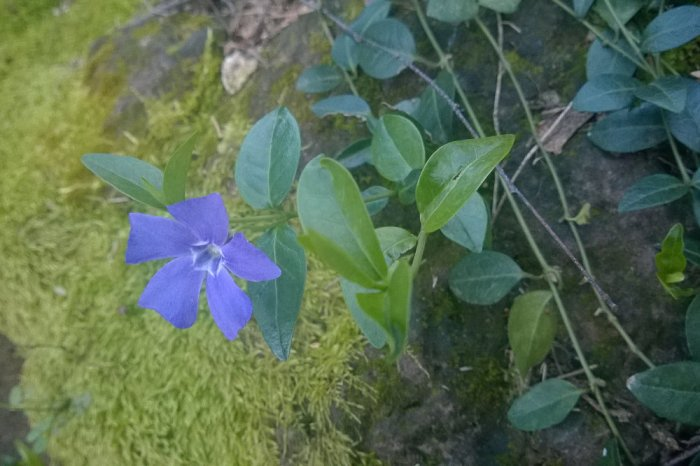 2 Quote A Flower Daily - Periwinkle