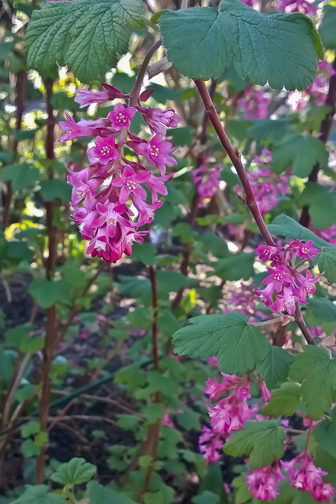 2 Quote A Flower Daily - Red Currant