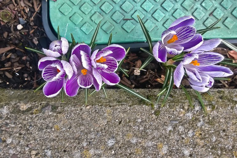 2 Quote A Flower Daily - Six Crocus