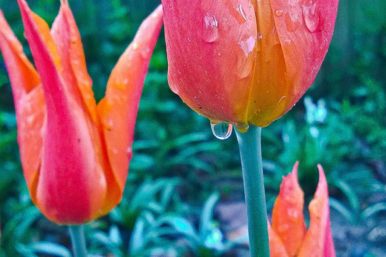 2 Quote A Flower Daily - Tulip Water
