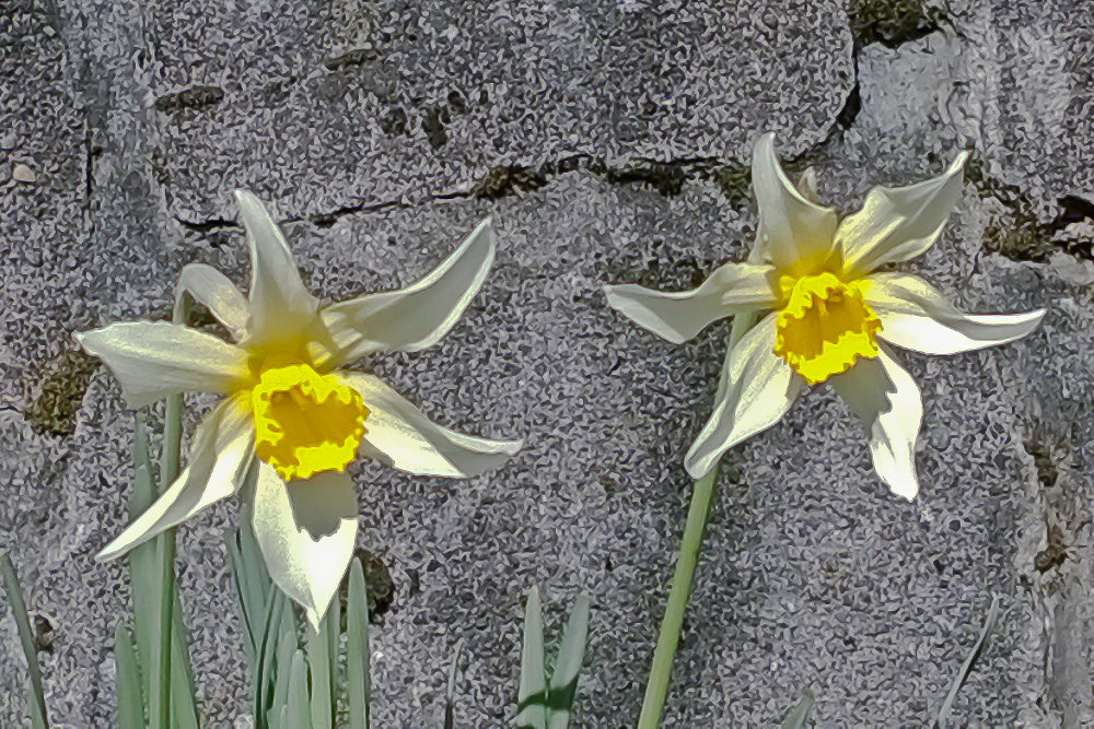2 Quote A Flower Daily - Two Daffodils 01