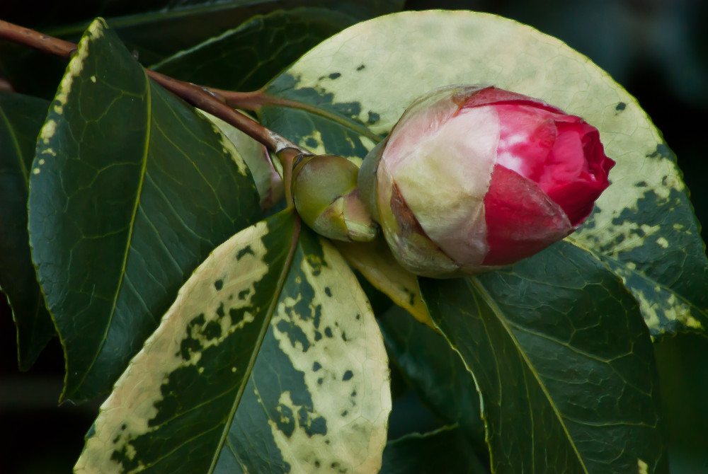 2 Quote A Flower Daily - Camellia Bud