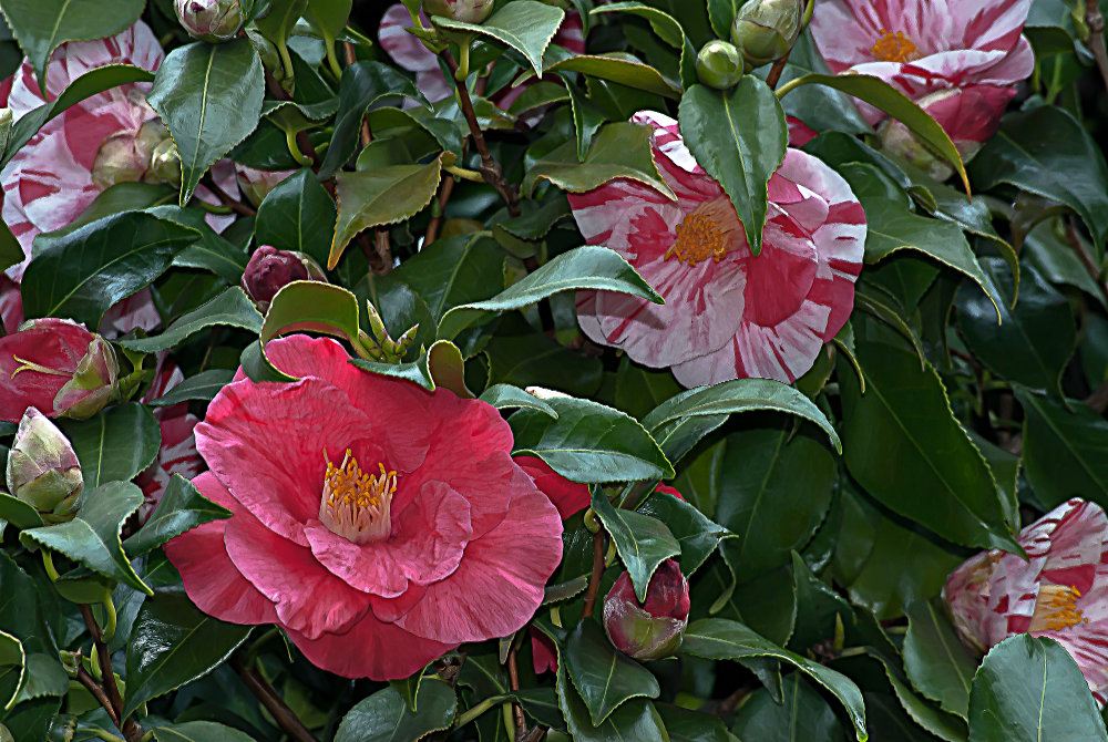 2 Quote A Flower Daily - Camellias