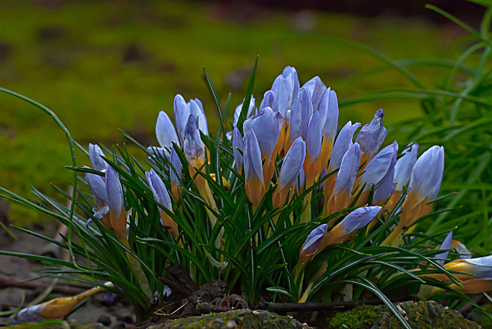 2 Quote A Flower Daily - Crocus Bunch